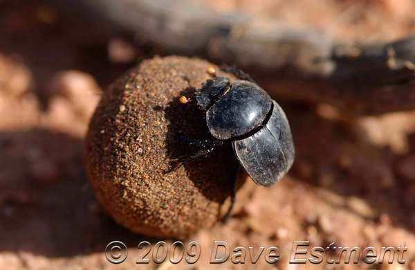 DUNG BEETLE - Witwater Game Reserve, Waterberg, Botswana