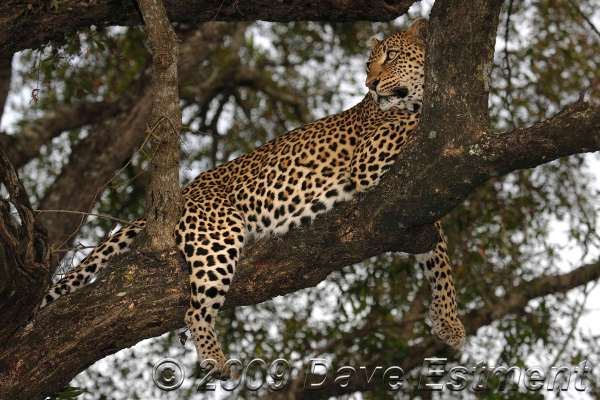LEOPARD IN TREE - Londolozi Game Reserve, South Africa