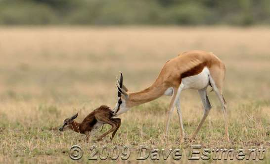Newborn Springbuck helped up by its mother