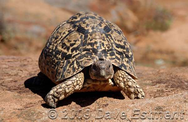 TORTOISE - Witwater Game Reserve, Waterberg, South Africa