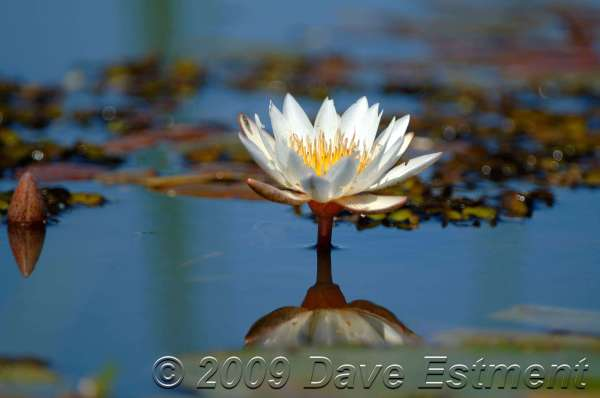 WATER LILY - Welgevonden Game Reserve, Waterberg, South Africa