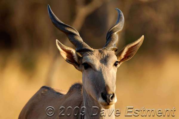 ELAND - Witwater Game Reserve, South Africa