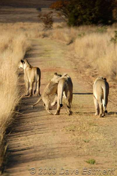 LION CUBS - Welgevonden Game Reserve, Waterberg, South Africa