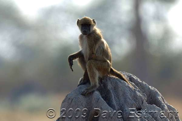 MONKEY ON MOUND - Moremi Game Reserve, Okavango Delta, Botswana