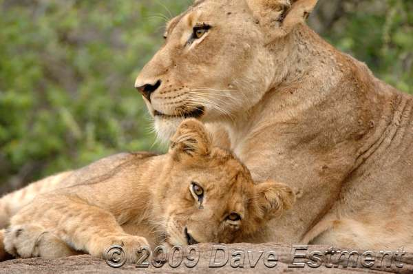 LIONESS & CUB - Londolozi Game Reserve, South Africa