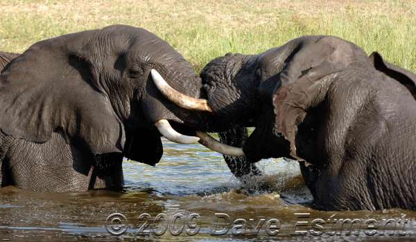 TUSSLING ELEPHANTS - Londolozi Game Reserve, South Africa