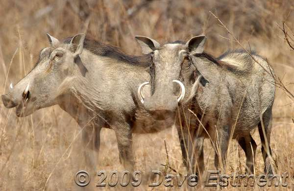 WARTHOGS - Welgevonden Game Reserve, South Africa