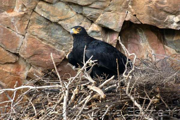 BLACK EAGLE ON NEST - Roodekrans, Johannesburg, South Africa