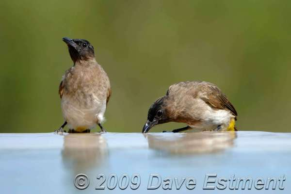 BLACKEYED BULBULS - Thanda Game Reserve, South Africa