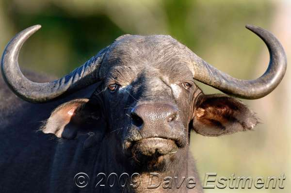 LONE BUFFALO BULL - Timbavati Private Game Reserve, South Africa