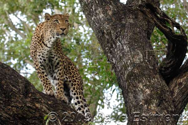 LEOPARD ON A LIMB - Londolozi Game Reserve, Sabi Sands, South Africa