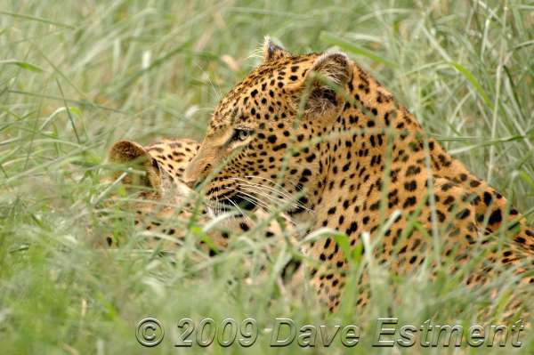 LEOPARDS IN THE GRASS - Londolozi Game Reserve, South Africa