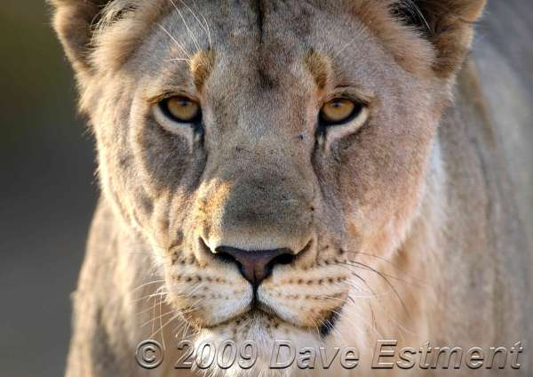 LIONESS - Welgevonden Game Reserve, Waterberg, South Africa