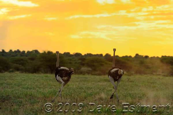 OSTRICHES AT SUNSET - Central Kalahari Game Reserve, Botswana