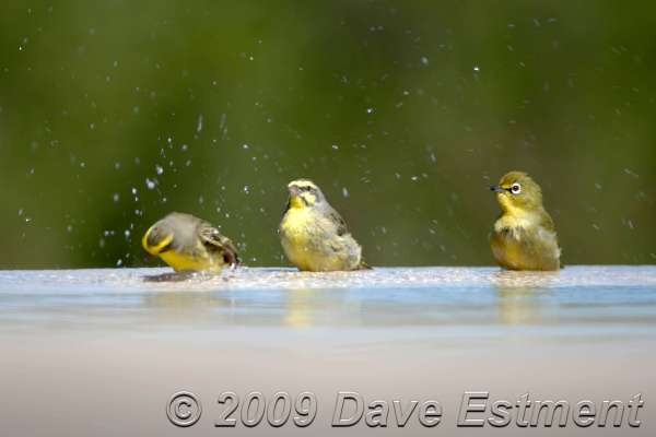 YELLOWEYED CANARIES BATHING WITH CAPE WHITE-EYE - Thanda Game Reserve, South Africa