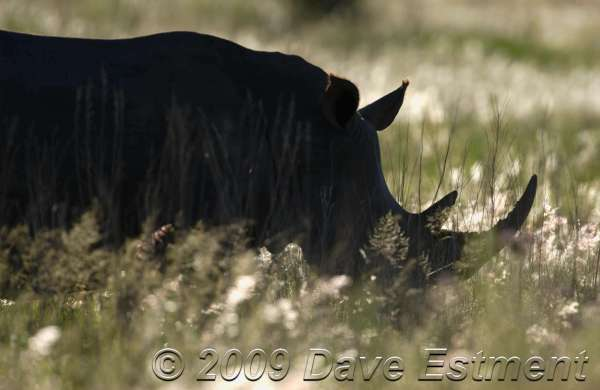 RHINO IN THE GRASS - Welgevonden Game Reserve, Waterberg, South Africa