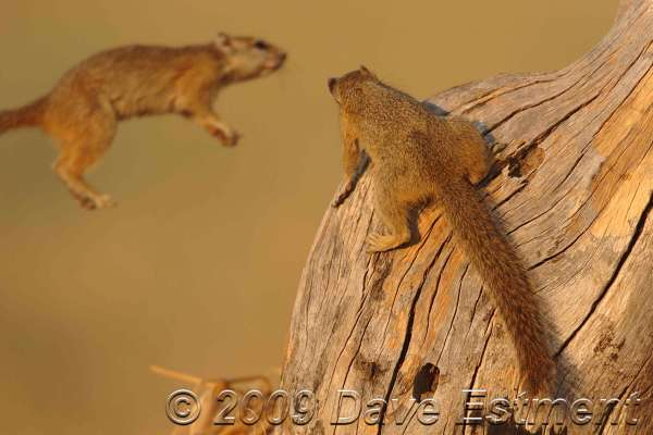 SQUIRREL LEAP AT SUNSET - Okavango Delta, Botswana