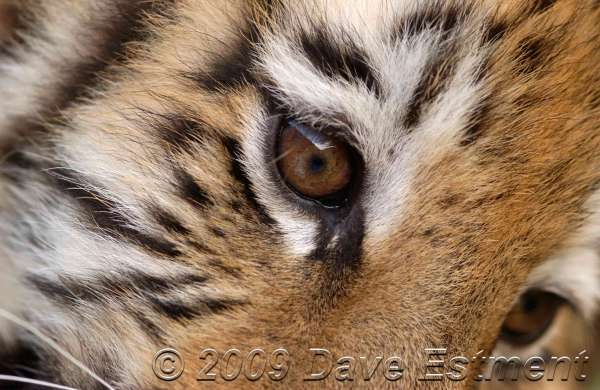 TIGER'S EYES - Johannesburg Zoo, South Africa