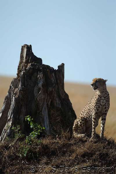 CHEETAH ON THE LOOKOUT - Masai Mara, Kenya