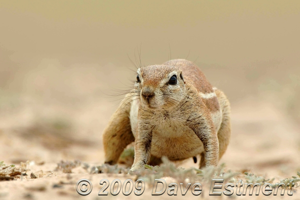 GROUND SQUIRREL - Mabuasehube Game Reserve, Botswana