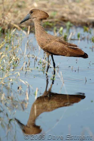 HAMERKOP - Kruger National Park, South Africa