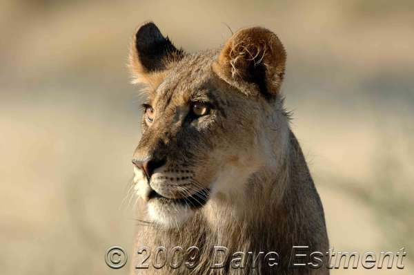 YOUNG MALE LION - Mabuasehube Game Reserve, Botswana