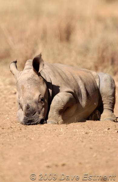 RHINO CALF - Welgevonden Private Game Reserve, South Africa
