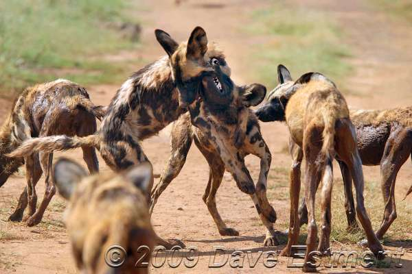 WILD DOG ANTICS - Rhino & Lion Nature Reserve, South Africa